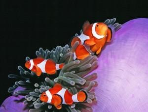 Dumagueteclownfish